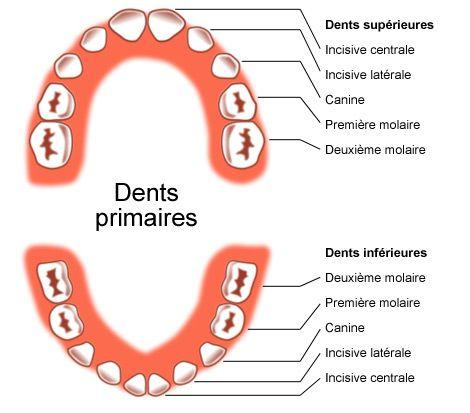 les dents primaires